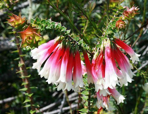 flores-de-bush