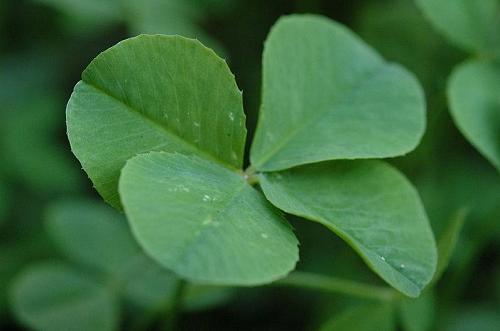 trebol-4-hojas